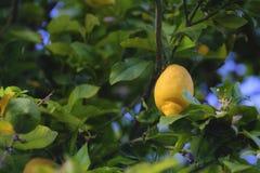 Limone, cedro, limonata fotografia stock
