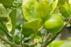 Limone che appende sull'albero Immagini Stock