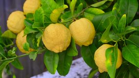 Limone con i limoni stock footage