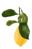 Limone con la foglia isolata su fondo bianco Fotografie Stock Libere da Diritti