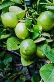 Limone del giardino Immagini Stock Libere da Diritti