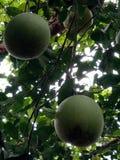 Limone di stagione Fotografia Stock Libera da Diritti