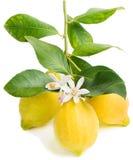 Limone e fiore Fotografia Stock Libera da Diritti