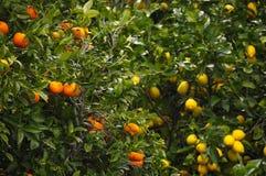 Limone ed arancio Immagini Stock