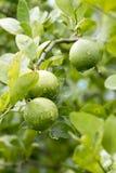 Limone fresco, agricoltura Fotografia Stock