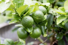 Limone fresco, agricoltura Immagine Stock Libera da Diritti