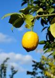 Limone fresco d'attaccatura fotografia stock libera da diritti