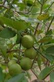 Limone fresco verde sull'albero, pianta di agricoltura Fotografia Stock