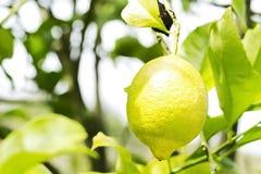 Limone giallo che appende sull'albero fotografie stock