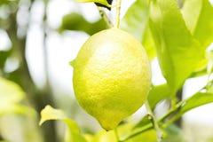 Limone giallo che appende sull'albero fotografia stock libera da diritti