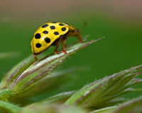 Limone macchiato Ladybird, vigintiduepunctata di Psyllobora Immagini Stock