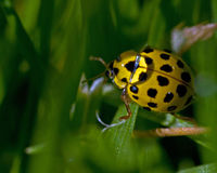 Limone macchiato Ladybird, vigintiduepunctata di Psyllobora Immagine Stock