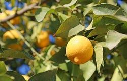Limone maturo sull'albero Immagine Stock Libera da Diritti