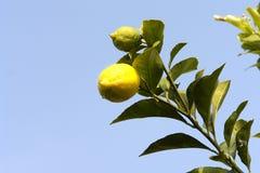 Limone nel suo albero Fotografia Stock Libera da Diritti