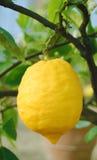 Limone nell'albero Fotografia Stock