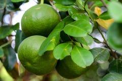 Limone o di limetta organico in Tailandia immagini stock libere da diritti