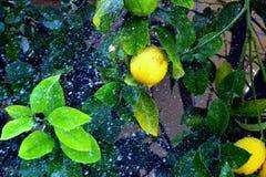 Limone piovoso immagine stock libera da diritti