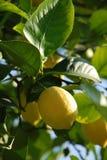 Limone puro Fotografie Stock Libere da Diritti
