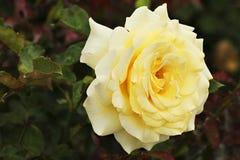 Limone Rosa Fotografia Stock