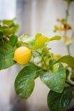 Limone siciliano sull'albero Fotografie Stock