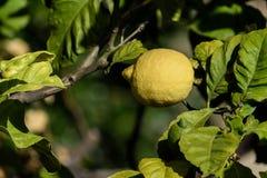 Limone su un albero da frutto, pianta del limone immagine stock