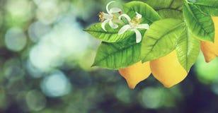 Limone su un primo piano del ramo Fotografia Stock Libera da Diritti
