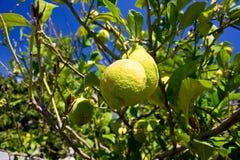 Limone su una filiale Fotografia Stock
