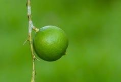 Limone sull'albero Fotografia Stock