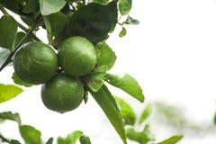 Limone tailandese immagini stock