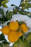 Limone tre sotto la neve fotografia stock libera da diritti