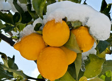 Limone tre sotto la neve immagini stock libere da diritti