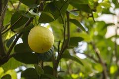 Limone in una serra Fotografia Stock
