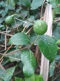 Limone verde fotografie stock libere da diritti
