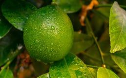Limone verde della calce che appende su un albero nel giardino Goccia di pioggia sulla fine sul limone verde fotografie stock