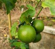 Limone verde fresco sull'albero Fotografie Stock Libere da Diritti