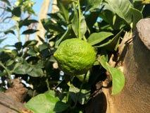 Limone verde sull'albero Fotografie Stock Libere da Diritti