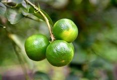 Limone verde sull'albero nel giardino Immagini Stock Libere da Diritti
