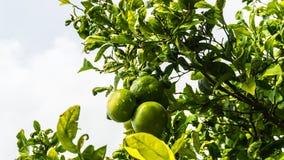 Lemon tree with juicy fruits in park. Palma de Mallorca royalty free stock photos