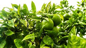 Lemon tree with juicy fruits. In park stock photography