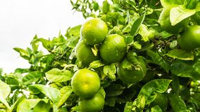 Lemon tree with juicy fruits. In park royalty free stock image