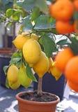 Limones de Sicilia y de las mandarinas anaranjadas maduras Imagen de archivo