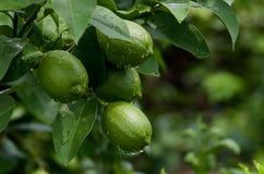 Limones en árbol Imágenes de archivo libres de regalías