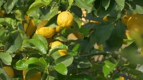 Limones en árbol almacen de metraje de vídeo