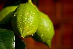 Limones en la ramificación fotos de archivo libres de regalías