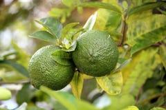 Limones en rama de árbol Foto de archivo