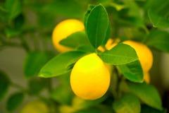 Limones en un árbol Fotos de archivo