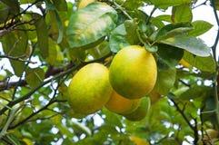 Limones en una rama Imagenes de archivo