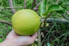 Limones gigantes en Tailandia Imagen de archivo