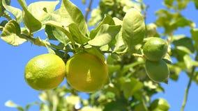 Limones inmaduros en el árbol almacen de metraje de vídeo