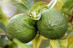 Limones inmaduros verdes en rama de árbol Fotos de archivo